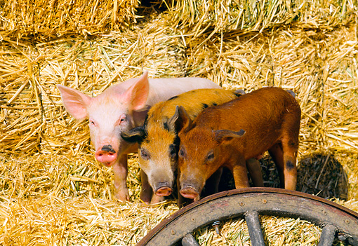 PIG 02 RK0046 23 © Kimball Stock Yorkshire Duroc And Mixed Pigs Standing Together On Hay By Wagon Wheel