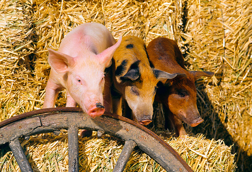PIG 02 RK0046 54 © Kimball Stock Yorkshire Duroc And Mixed Pigs Standing Together On Hay By Wagon Wheel