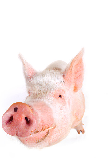 PIG 02 RK0054 20 © Kimball Stock Wide Angle Of Yorkshire Pig Facing Camera White Seamless Background
