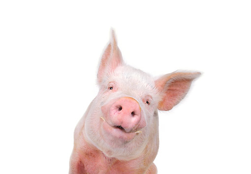 PIG 02 RK0057 02 © Kimball Stock Yorkshire Pig Sitting With Smile On White Seamless Background