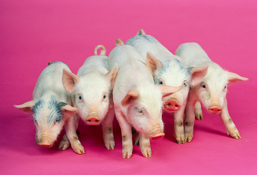 PIG 02 RK0099 06 © Kimball Stock Group Of Piglets Standing On Pink Seamless