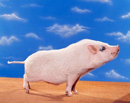 PIG 02 RK0124 09 © Kimball Stock Profile Shot Of Vietnamese Pot Belly Standing Blue Sky Background