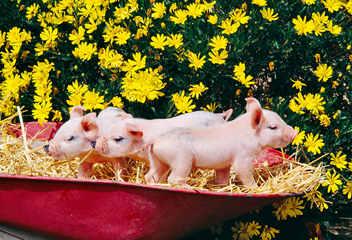 PIG 02 RK0131 10 © Kimball Stock Farm Piggies Sitting On Hay By Flowers