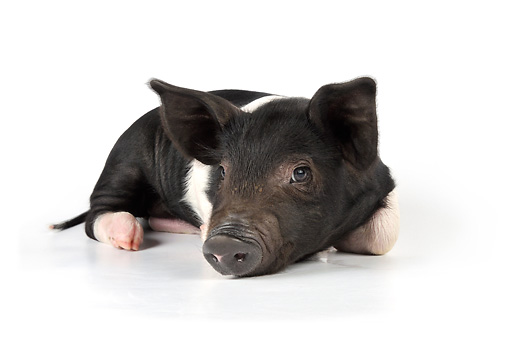 PIG 02 JD0011 01 © Kimball Stock Saddleback Mixed Breed Piglet Laying Down On White Seamless