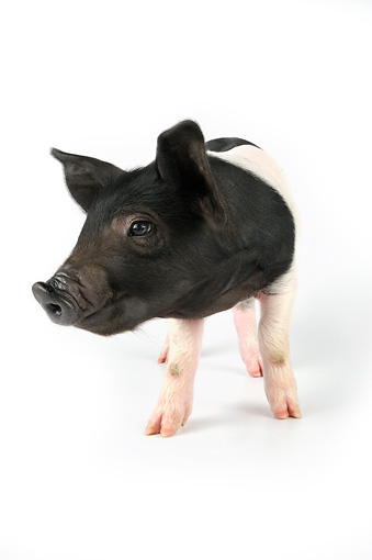 PIG 02 JD0013 01 © Kimball Stock Saddleback Mixed Breed Piglet Standing On White Seamless