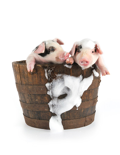 PIG 02 JD0019 01 © Kimball Stock Two Gloucestershire Old Spots Piglets Standing In Bucket Of Soap Suds On White Seamless