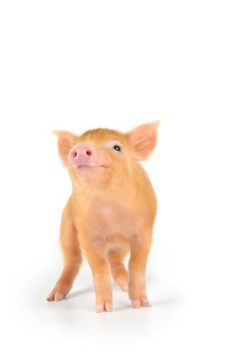 PIG 02 JD0021 01 © Kimball Stock Tamworth Piglet Standing On White Seamless