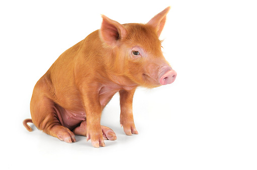 PIG 02 JD0023 01 © Kimball Stock Tamworth Piglet Sitting On White Seamless
