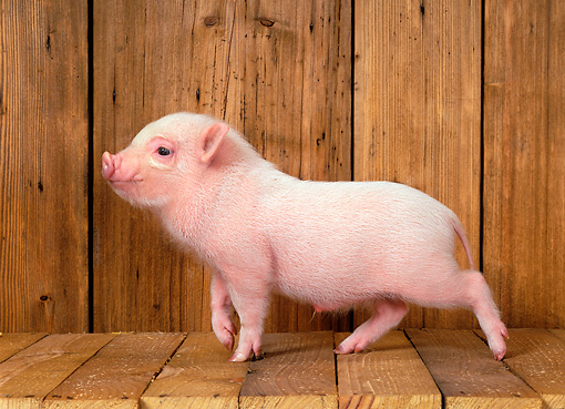 PIG 02 KH0001 01 © Kimball Stock Vietnamese Pot-Bellied Piglet Walking In Barn