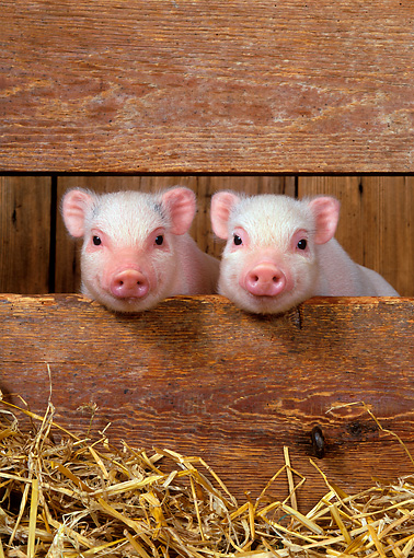PIG 02 KH0002 01 © Kimball Stock Vietnamese Pot-Bellied Piglets Sitting In Barn Peeking Through Boards