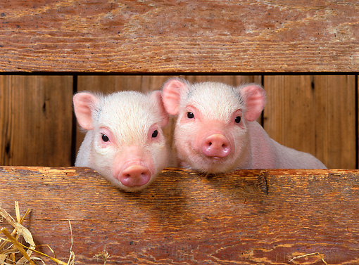 PIG 02 KH0003 01 © Kimball Stock Vietnamese Pot-Bellied Piglets Sitting In Barn Peeking Through Boards