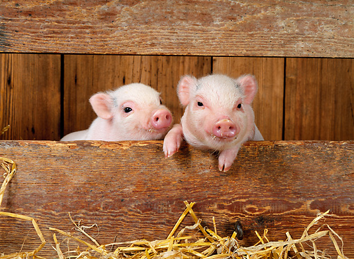 PIG 02 KH0004 01 © Kimball Stock Vietnamese Pot-Bellied Piglets Sitting In Barn Peeking Through Boards
