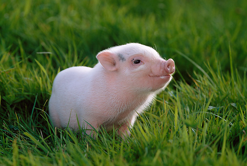 PIG 02 KH0006 01 © Kimball Stock Vietnamese Pot-Bellied Piglet Standing In Grass
