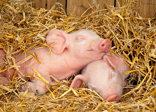 PIG 02 KH0007 01 © Kimball Stock Two Piglets Sleeping In Straw