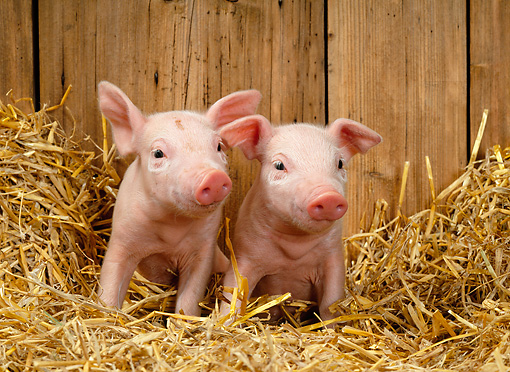 PIG 02 KH0008 01 © Kimball Stock Two Piglets Sitting In Straw