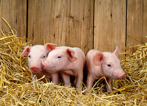 PIG 02 KH0009 01 © Kimball Stock Three Piglets Standing In Straw