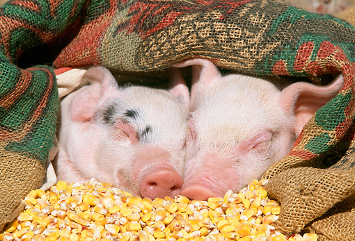 PIG 02 LS0004 01 © Kimball Stock Head Shot Of Two Piglets Sleeping In Pile Of Corn
