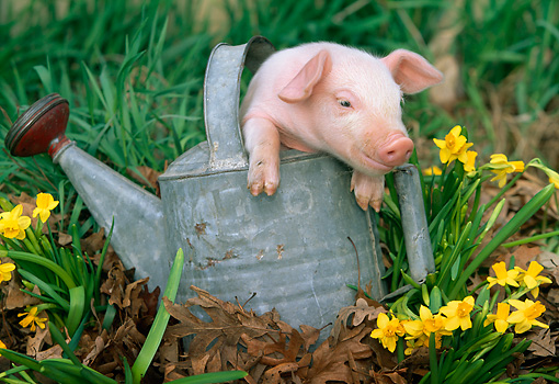 PIG 02 LS0005 01 © Kimball Stock Piglet Sitting In Metal Watering Can By Daffodils