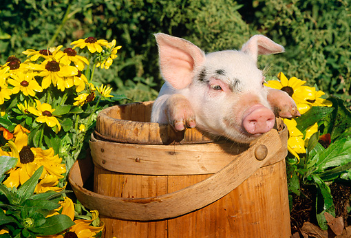 PIG 02 LS0007 01 © Kimball Stock Head Shot Of Piglet Sitting Wooden Bucket By Flowers