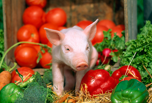 PIG 02 LS0009 01 © Kimball Stock Piglet Standing On Straw By Vegetables