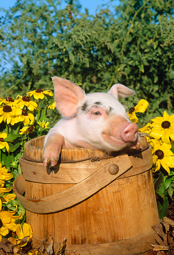 PIG 02 LS0010 01 © Kimball Stock Head Shot Of Piglet Sitting Wooden Bucket By Flowers