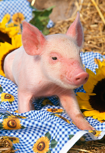 PIG 02 LS0011 01 © Kimball Stock Piglet Laying On Blanket By Sunflowers