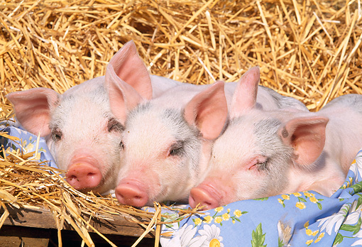 PIG 02 LS0013 01 © Kimball Stock Three Piglets Sleeping On Blanket By Hay