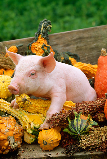 PIG 02 LS0019 01 © Kimball Stock Piglet Sitting By Gourds In Box Autumn