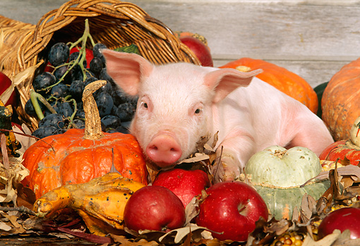 PIG 02 LS0020 01 © Kimball Stock Piglet Laying By Apples & Gourds In Box Autumn
