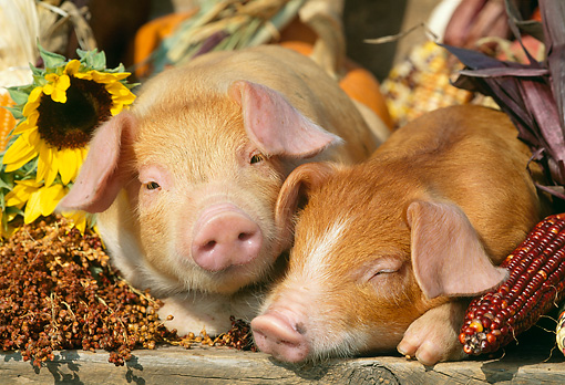 PIG 02 LS0021 01 © Kimball Stock Two Piglet Laying By Corn And Flowers Autumn