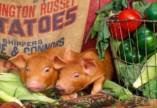 PIG 02 LS0023 01 © Kimball Stock Two Piglets Laying By Vegetables