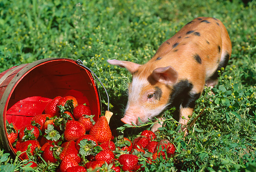 PIG 02 LS0024 01 © Kimball Stock Piglet Sniffing Basket Of Strawberries In Field