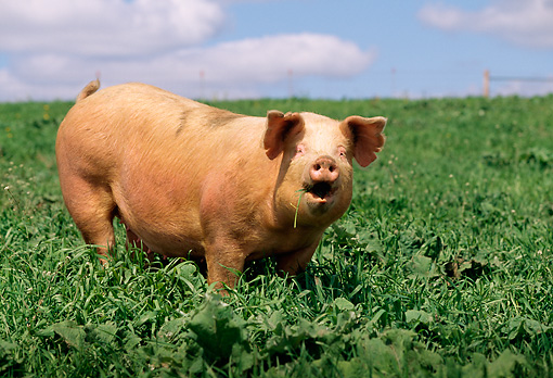 PIG 02 LS0025 01 © Kimball Stock Pig Squealing In Field Summer