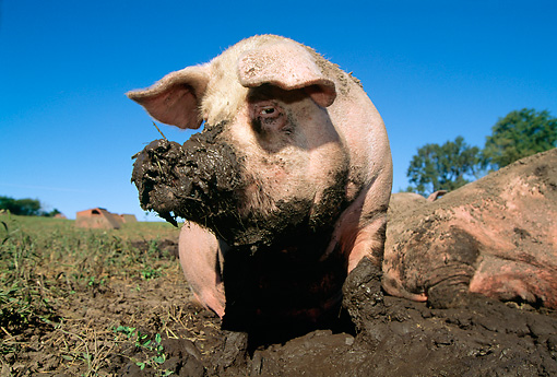 PIG 02 LS0034 01 © Kimball Stock Pig Standing In Mud In Field Blue Sky