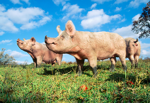 PIG 02 LS0037 01 © Kimball Stock Pigs Standing In Field Blue Sky Clouds
