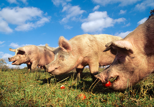 PIG 02 LS0038 01 © Kimball Stock Yorkshire Pigs Eating Apples In Field Blue Sky Clouds