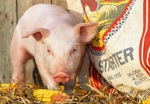 PIG 02 LS0040 01 © Kimball Stock Piglet Standing By Corn Cobs And Bag Of Chicken Feed