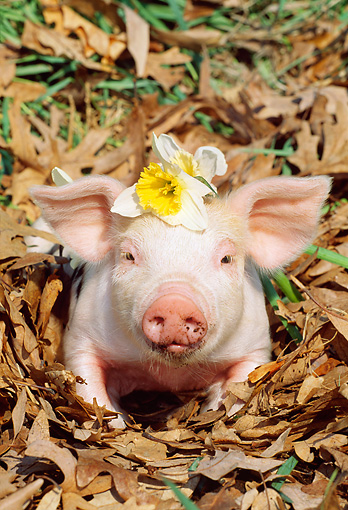 PIG 02 LS0042 01 © Kimball Stock Piglet Sitting In Leaves With Flower On Head