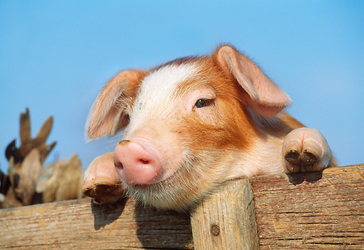 PIG 02 LS0043 01 © Kimball Stock Piglet Peeking Out Of Wooden Crate Blue Sky
