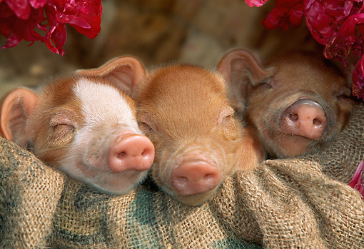 PIG 02 LS0047 01 © Kimball Stock Three Piglets Sleeping In Burlap Sack