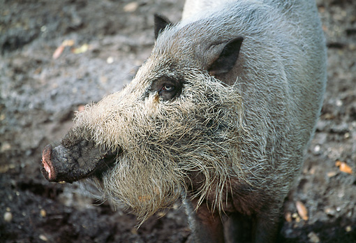 PIG 02 LS0048 01 © Kimball Stock Cloe-Up Of Bearded Pig Asia