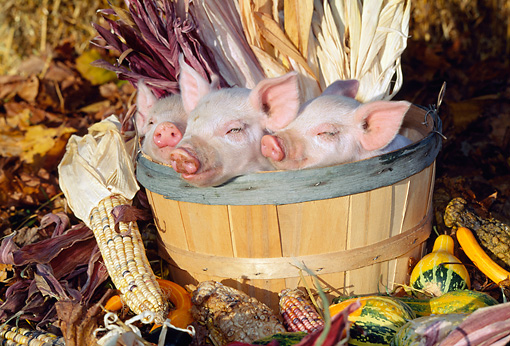 PIG 02 LS0049 01 © Kimball Stock Three Piglets Sitting In Basket By Corn And Gourds