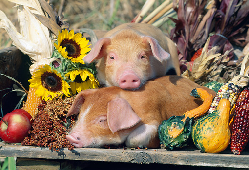 PIG 02 LS0050 01 © Kimball Stock Two Piglets Sleeping On Wooden Table By Corn And Gourds