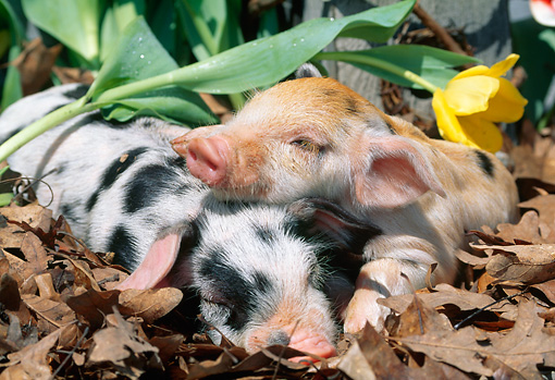 PIG 02 LS0051 01 © Kimball Stock Two Piglets Sleeping In Fallen Leaves By Daffodil