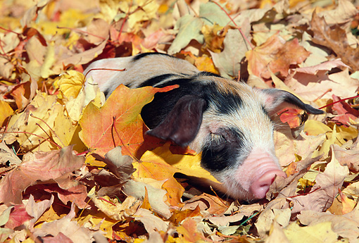 PIG 02 LS0054 01 © Kimball Stock Piglet Sleeping In Fallen Leaves