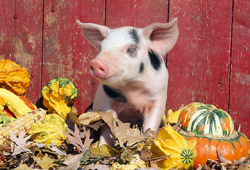 PIG 02 LS0056 01 © Kimball Stock Piglet Sitting In Fallen Leaves By Gourds