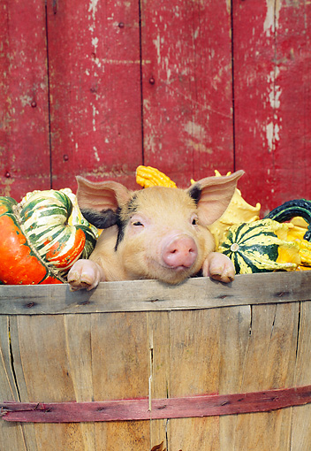 PIG 02 LS0058 01 © Kimball Stock Piglet Peeking Out Of Wooden Barrel With Gourds