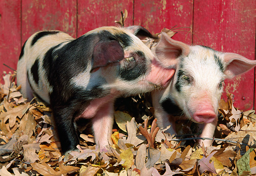 PIG 02 LS0063 01 © Kimball Stock Two Piglets Standing In Fallen Leaves