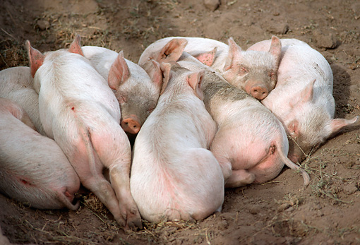 PIG 02 RC0001 01 © Kimball Stock Group Of Piglets Sleeping Together On Dirt