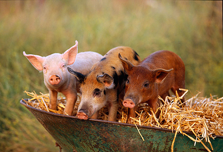 PIG 02 RK0001 12 © Kimball Stock Yorkshire Duroc And Mixed-Breed Pigs Sitting In Wheelbarrow Full Of Hay
